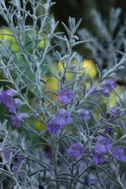australian native plants with purple flowers the list our 5 best native shrubs