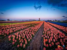 Netherlands Tulip Fields These Pics Of The Flower Fields In The Netherlands Will Continue
