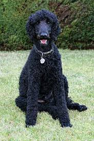 standard poodle hair styles standard poodle breed information history health pictures and more