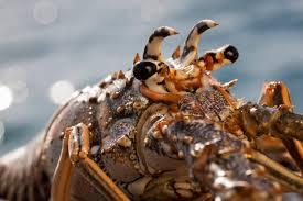 nicaragua lobster wwf seafood sustainability