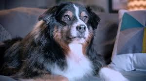 australian shepherd 2015 yoga tablet 2 pro valentine u0027s day ad 2015 cupid dog youtube