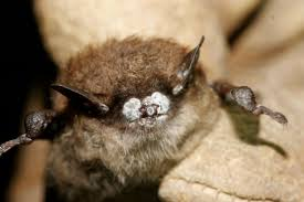how one moth species can jam bats u0027 sonar systems science