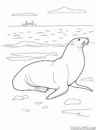 coloring page sea lion