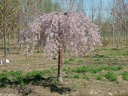 pink snow showers weeping cherry prunus pisnshzam in ringoes