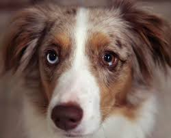 australian shepherd with cats heterochromia in cats and dogs gibba house