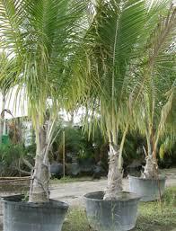 palm nursery nurseries plants and trees landscaping lesserras