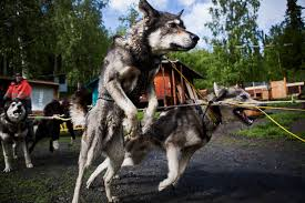 katie orlinsky on mushing in the dog days of summer u2013 proof