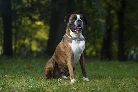 boxer dog howling boxer breed profile australian dog lover