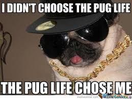Birthday Pug Meme - funny pug pictures poman adasa