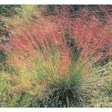 2 5 quart purple grass l8564 fast growing 4 98 yard