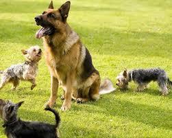 belgian sheepdog german shepherd mix german shepherds jigsaw puzzle android apps on google play