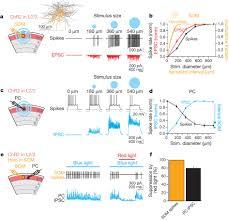 a neural circuit for spatial summation in visual cortex nature