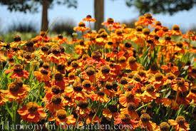 orange mardi gras top 10 favorite orange plants harmony in the garden