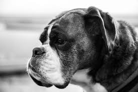 boxer dog black and white boxer dog weight issues boxer dog info and health tips