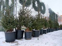 fresh decoration potted tree living trees town and