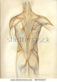 hand drawn illustrations coccyx vertebra original stock