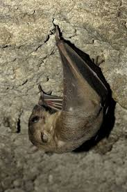 small bat bat with small ears bat facts and information