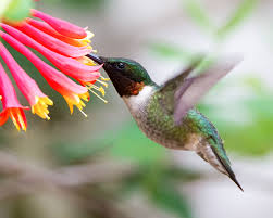 Create A Hummingbird Haven With Native Flowering Plants Audubon