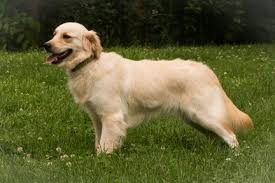 Comfort Retriever Puppies For Sale F A Q Comfort Retriever Miniature Golden Retriever