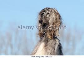 afghan hound ireland afghan hound head portrait stock photos u0026 afghan hound head