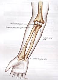 Normal Bone Anatomy And Physiology Notes On Anatomy And Physiology The Elbow Forearm Complex