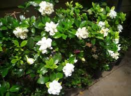 gardenia magnifica hedge google search projects pinterest
