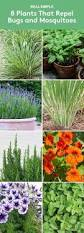 Plants That Repel Aphids by 8 Plants That Repel Bugs And Mosquitoes Simple Outdoor And Grasses