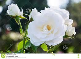 Diana Princess Of Wales Rose by Princess Of Wales Rose Stock Photo Image 74109747