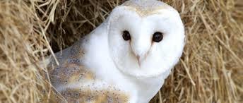 North American Barn Owl Sonic The Barn Owl Earth Rangers Wild Wire Blog