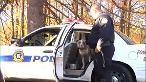 belgian shepherd vs pitbull fight rescued pit bull joins k9 unit in new york and fights stereotypes