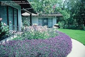 Zone Gardening - tropical zone gardening growing lavender in tropical zone need