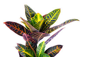 indoor plants croton house plant care