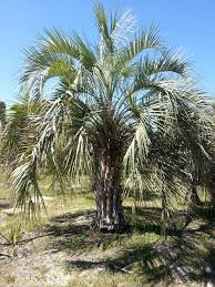 91 best buy cold hardy palm trees images on palm trees