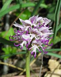 monkey orchids plants orchids italica seeds 50pcs pyramid monkey orchid