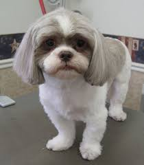 shih tzu haircuts 75 best shih tzu grooming hairstyles images on pinterest doggies