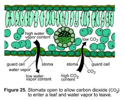 different behavior of stomata in early vascular plants and seed