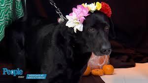 halloween pet background puppy bowl halloween dog parade