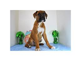 bluetick coonhound reviews bluetick coonhound puppies petland hoffman estates il