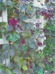Climbing Plants That Flower All Year - 58 best vines images on pinterest climbing vines gardening and