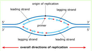 exam 3 chs 5 dna structure and replication machinery u0026 16 the