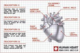 Human Anatomy Images Free Download Human Heart Pictures Free Download Free Vector Download 5 535