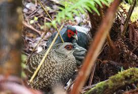 the ring necked pheasant has seen serious habitat loss audubon