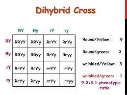 Dihybrid Cross Punnett Square Worksheet How Did You Get A Genotype Ratio In Mendel 2017 Quora