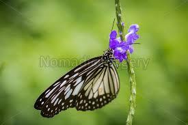 danaus melanippus white tiger butterfly stock photo
