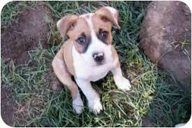 australian shepherd rescue california april u0027s pups adopted puppy sacramento ca australian