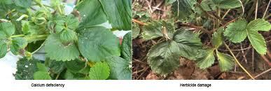 Deficiency Diseases In Plants - calcium deficiency strawberries ontario cropipm
