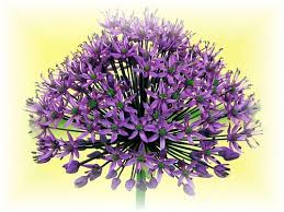 allium flowers beautiful flowers allium flowers pictures meanings