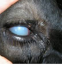 Symtoms Of Blindness Nadis National Animal Disease Information Service
