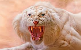 animals tiger white tigers nature open blue wallpaper