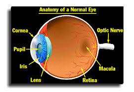 Anatomy Of The Eye Anatomy Of A Normal Human Eye Amdf